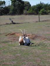 Oryx, Werribee Zoo: by sandrad, Views[228]