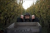 Located in rural New South Wales, Bendeela Orchard is a privately owned and maintained fruit orchard.: by sarahdoherty, Views[44]