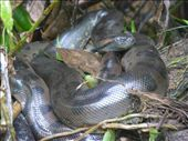 Our first sighting of a small anaconda.: by steve_and_emma, Views[398]
