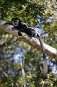 A black and white collobus monkey.: by steve_and_emma, Views[5]