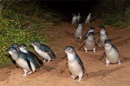 Phillip Island Penguin Parade Ambassador Van Australia