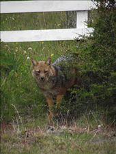 un zorro culpeo: by tempolibre, Views[77]