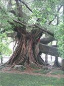 The Big Banyan Tree, near Yangshuo: by terrihorner, Views[126]