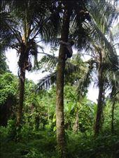 Angelina effortlessly climbing a coconut tree, Caroline Bay, Malekula.: by thomasz, Views[19]