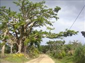 Female banyan stretching across the road, Lownelapen, Tanna. : by thomasz, Views[8]