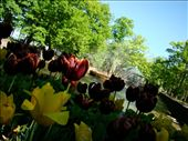 Brightly coloured Tulips in the palace gardens: by treefrog, Views[27]