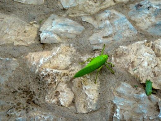 Biggest grasshopper ever recorded