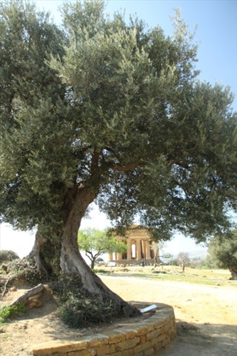 Ancient olive tree, Valley of the Temples, Agrigento