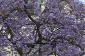 Deep Purple, Jacaranda tree: by vagabonds, Views[280]