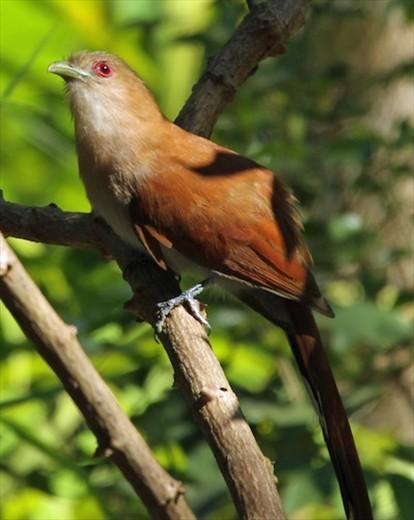 Squirrel Cuckoo Squirrel cuckoo, Alto ...