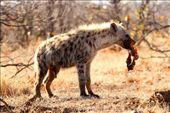 Spotted hyena, Kruger National Park: by vagabondstoo, Views[18]
