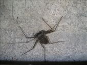 Tailless whip scorpion - found plenty of these guys cleaning out under the deck.: by viajerofrye, Views[183]
