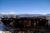 cows on yard: by vik, Views[122]