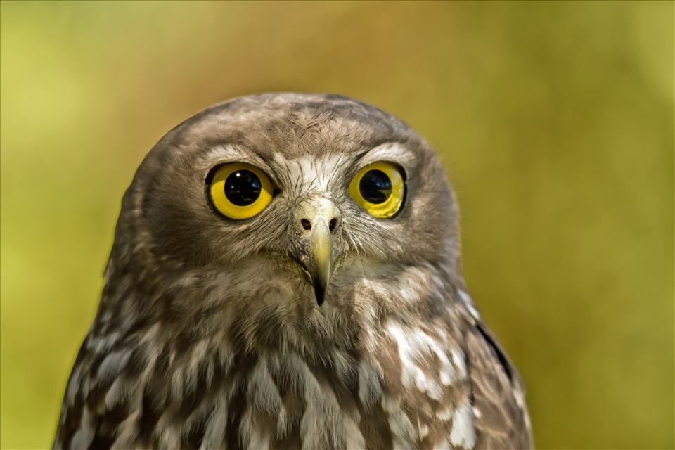 Caversham Australia  City pictures : Barking owl taken at Caversham wildlife park Perth Western Australia ...